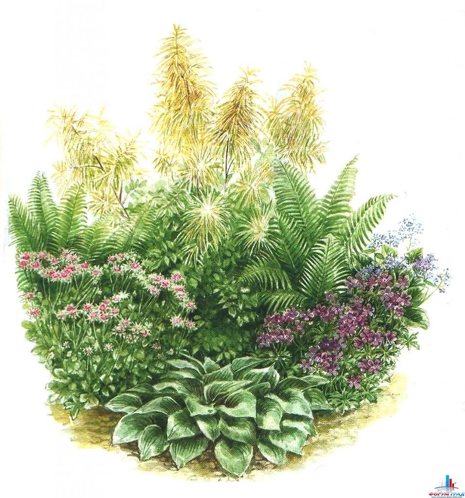 Волжанка цветов на клумбе